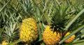 تعبیر خواب آناناس سبز ، معنی دیدن آناناس سبز در خواب های ما چیست