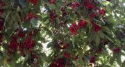 تعبیر خواب درخت آلبالو ، معنی دیدن درخت آلبالو در خواب های ما چیست