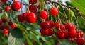 تعبیر خواب دیدن میوه آلبالو ، معنی دیدن میوه آلبالو در خواب های ما چیست