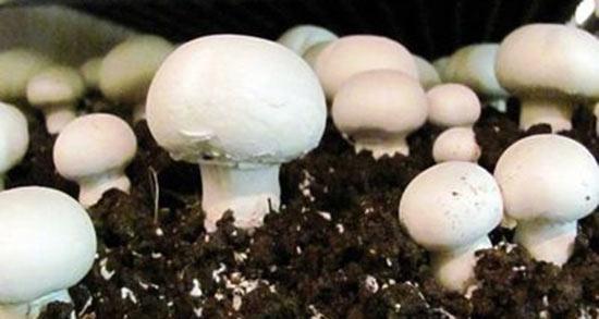 تعبیر خواب قارچ خوراکی ، معنی دیدن قارچ خوراکی در خواب های ما چیست