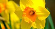تعبیر خواب گل زرد ، معنی دیدن گل زرد در خواب های ما چیست