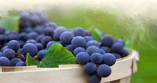خواص انگور ؛ یاقوتی قرمز و سیاعه دانه دار برای لاغری در طب سنتی