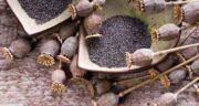 ایا سیاه دانه همان خشخاش است ؛ شباهت و تفاوت سیاه دانه با خشخاش