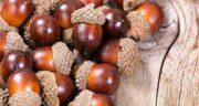 خواص بلوط ؛ طریقه مصرف بلوط برای معده و خواص بلوط لرستان و عسل