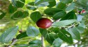 خواص برگ عناب برای لاغری ؛ آشنایی با فواید برگ درخت عناب