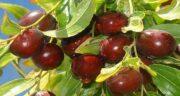 خواص عناب برای زنان ؛ تاثیر مصرف میوه عناب تازه برای سلامتی زنان