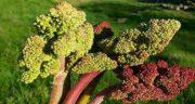 خواص ریواس ؛ کردستان در طب سنتی برای لاغری و دیابت و خواص ریشه ریواس