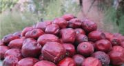 عناب برای سرماخوردگی ؛ خاصیت بسیار زیاد میوه عناب برای درمان سرماخوردگی