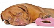 عناب برای سگ خوبه ؛ آیا می توان میوه عناب را به سگ داد؟