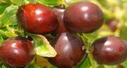 عناب تازه ؛ فواید و خواص بسیار زیاد میوه عناب تازه برای تهیه دمنوش