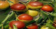 عناب در طب سنتی ؛ فواید مصرف میوه عناب از نظر طب سنتی