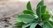 خواص مریم گلی ؛ پنبه ای برای رحم و تنبیل تخمدان و پوست و مضرات و طریقه مصرف