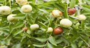 مضرات عناب نارس ؛ عوارض خوردن میوه عناب نارس برای بدن