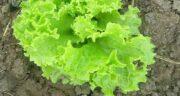 خواص کاهو فرانسوی ؛ روش کاشت و گلخانه و طرز شستن و تلخی و نگهداری آن