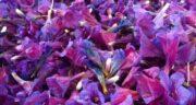 خواص گل گاوزبان ؛ کوهی و فشار خون و سنبل الطیب و به لیمو در طب اسلامی