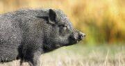 تعبیر خواب بریدن گوشت خوک ، معنی بریدن گوشت خوک در خواب ما چیست