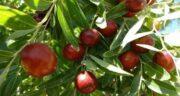 درخت عناب ؛ معرفی و آشنایی با بذر و درخت عناب و خواص این میوه