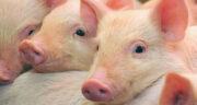 تعبیر خواب ادرار خوک ، معنی دیدن ادرار خوک در خواب های ما چیست