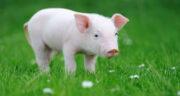 تعبیر خواب فرار از خوک ، معنی دیدن فرار از خوک در خواب های ما چیست