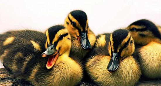 تعبیر خواب جوجه اردک زرد ، معنی دیدن جوجه اردک زرد در خواب های ما چیست
