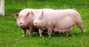 تعبیر خواب خوک در خانه ، معنی دیدن خوک در خانه در خواب های ما چیست