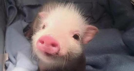تعبیر خواب خوک دریایی ، معنی دیدن خوک دریایی در خواب های ما چیست