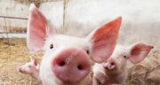 تعبیر خواب خوک خاکستری ، معنی دیدن خوک خاکستری در خواب های ما چیست