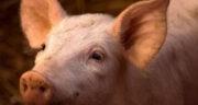 تعبیر خواب خوک کوچک ، معنی دیدن خوک کوچک در خواب های ما چیست