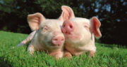 تعبیر خواب خوک سیاه ، معنی دیدن خوک سیاه در خواب های ما چیست