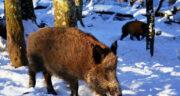 تعبیر خواب خوک و گراز ، معنی دیدن خوک و گراز در خواب های ما چیست