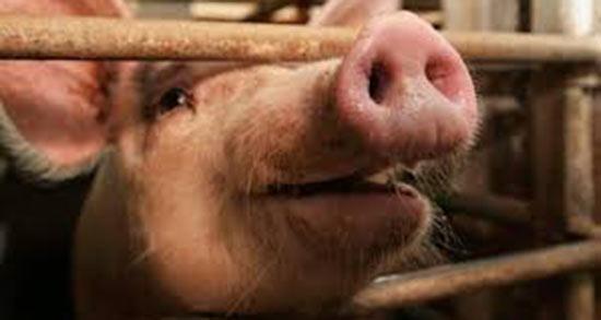 تعبیر خواب خوک وحشی سیاه ، معنی دیدن خوک وحشی سیاه در خواب چیست