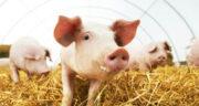 تعبیر خواب خوک زرد ، معنی دیدن خوک زرد در خواب های ما چیست