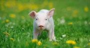 تعبیر خواب خوردن خوک ، معنی خوردن خوک در خواب های ما چیست