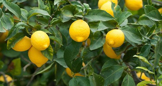 تعبیر خواب لیمو ترش در خواب ، معنی دیدن لیمو ترش در خواب های ما چیست