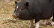 تعبیر خواب مدفوع خوک ، معنی دیدن مدفوع خوک در خواب های ما چیست