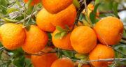 تعبیر خواب نارنگی رسیده ، معنی دیدن نارنگی رسیده در خواب های ما چیست