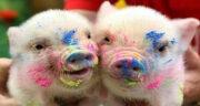 تعبیر خواب تبدیل انسان به خوک ، معنی دیدن تبدیل انسان به خوک در خواب