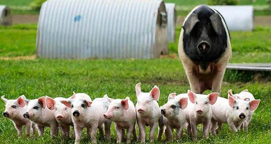 تعبیر خواب زاییدن خوک ، معنی زاییدن خوک در خواب های ما چیست
