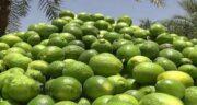 آب لیمو ترش برای سنگ کلیه ؛ بهبود سنگ کلیه و بیماری های کلیوی