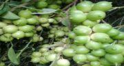 آب لیمو ترش در فریزر ؛ مدت زمان نگهداری و طریقه نگهداری و خواص