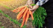 آب هویج و شیمی درمانی ؛ کاهش ریزش مو و کاهش درد ناشی از بیماری