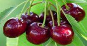 آلبالو برای دیابت خوب است ؛ خواص و مضرات آلبالو برای قند خون چیست