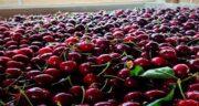 آلبالو و یبوست ؛ آشنایی با خواص و مضرات میوه آلبالو برای بیماری یبوست