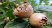 ازگیل و خواصش ؛ خاصیت میوه ازگیل برای ریه ، فشارخون و دیابت