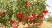 انار و پاییز ؛ فصل پاییز زمان برداشت میوه انار