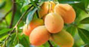 انبه برای سرماخوردگی ؛ میوه انبه سرشار از ویتامین C مفید برای سرماخوردگی