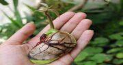 انبه در گلدان ؛ چطور می توان در گلدان و در خانه میوه انبه پرورش داد