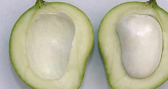 انبه کال در بارداری ؛ خوردن میوه انبه کال و نارس در بارداری چه ضرری دارد