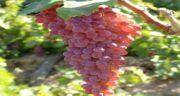 انگور برای چه کسانی ضرر دارد ؛ کدام افراد نباید میوه انگور بخورند