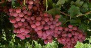 انگور و فشار خون ؛ رابطه بین مصرف انگور تازه و تنظیم فشار خون